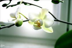 phalaenopsis_R.jpg